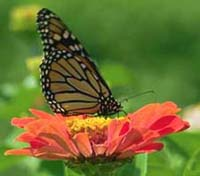 Monarch Butterfly Used In Butterfly Releases