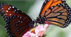 Graceful Monarch